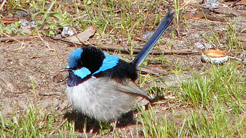superb fairy wren 480